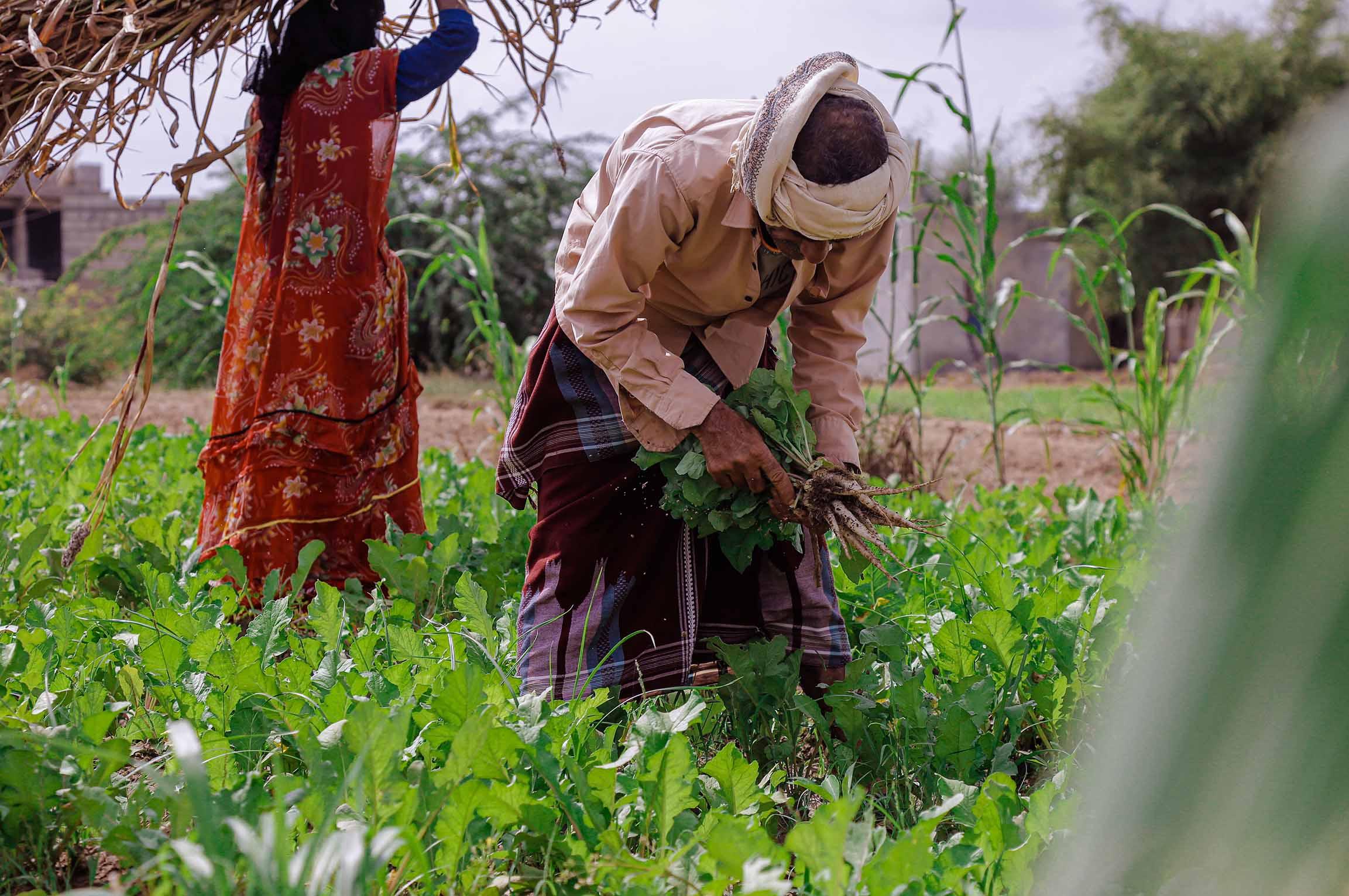مشروع الامن الغذائي والزراعة - الحديدة