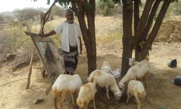 تربية الماشية تساهم في تنويع مصادر الغذاء للنازحين وتحسن دخلهم